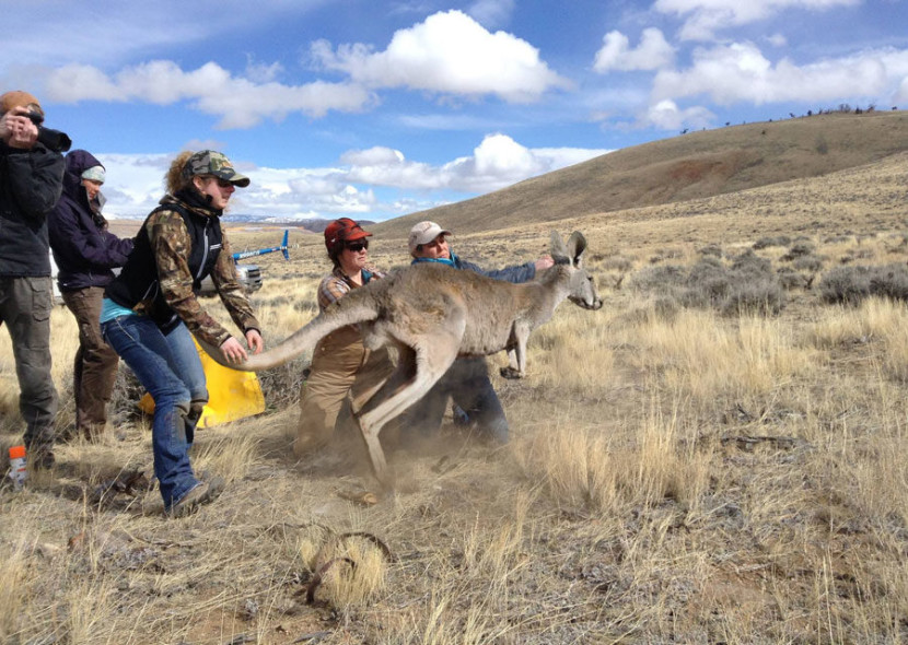 First 90 Kangaroos released in Wyoming